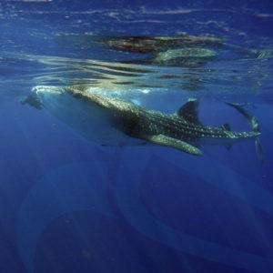 tour tiburon ballena